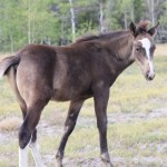 The Homeopathic Trituration Proving of Nemiah Valley Wild Horse (Equus ferus caballus)