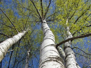 beautiful-birch-trees-with-fresh-green-leaves-file-photo-po