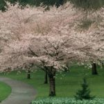 "The Homeopathic Proving of Daybreak Yoshino Cherry Tree (Prunus x yedoensis ""Akebono"")"