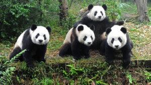four-pandas-ss-1920