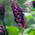 Homeopathic Treatment of Mastitis