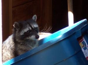 raccoon-photo