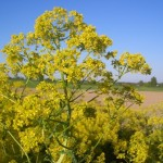 The Homeopathic Trituration Proving of Isatis Tinctoria (Woad)